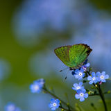 Green Hairstreak II (Callophrys rubi), Sweden Royalty Free Stock Photography
