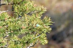 Green hairstreak on pine tree. Stock Photos