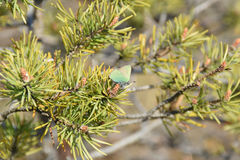 Green hairstreak on pine tree. Royalty Free Stock Photos