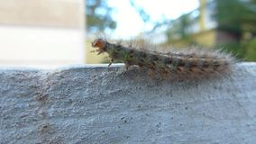 A green hairy caterpillar dancing. A green hairy caterpillar danging on the edge of the sidewalk of a garden stock video