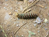 Green hairy caterpillar with red and blue dots in Altai, Russia royalty free stock photography