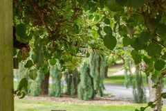 green hanging garden plants and leaves draping in summer royalty free stock images