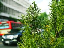 Green hard pine tree bush, traffic car and bus on paved road blurred background. Green hard pine structure leaf tree bush shoot, with blurred traffic car, red stock photo