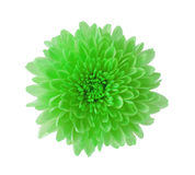 Green Hardy Mum Stock Photography