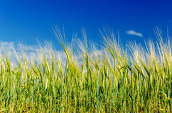 Green harvest and blue sky Royalty Free Stock Photo