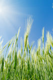 Green harvest in field and blue sky with sun Stock Photo