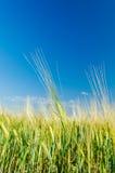 Green harvest under deep blue sky Royalty Free Stock Photos