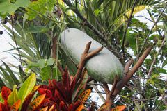 Winter melon. Green hatching is a plant that can eat both stems and balls royalty free stock images