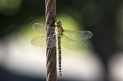 Green hawker Royalty Free Stock Photos