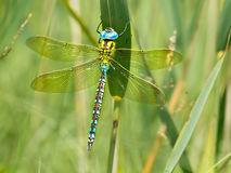 Green Hawker Dragonfly Resting on a Leaf. Green Hawker Dragonfly (Aeshna viridis) resting on the leafs of reed (Phragmites australis) in natural habitat royalty free stock image