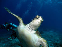 Green Hawksbill Turtle. With a scuba diver in the background Stock Images