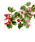 Green hawthorn branch red berries Stock Photo