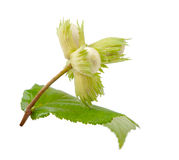 Green hazel nut Stock Photos