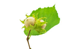 Green hazel nut Royalty Free Stock Image