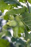 Green hazelnut Stock Images