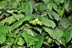 Green hazelnut tree Stock Photo