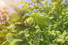 Green hazelnut on tree Stock Images