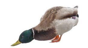 Green head isolated duck royalty free stock photos