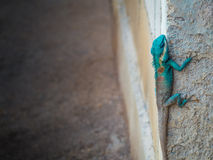 Green head lizard hung on corner of ruins wall Stock Images