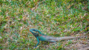 Green head lizard and white striped looking for something Stock Photography