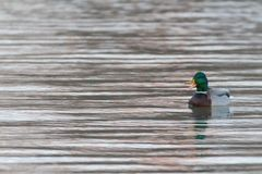 Mallard drake duck quacking. Green head mallard drake floating and quacking on calm water overcast Stock Image