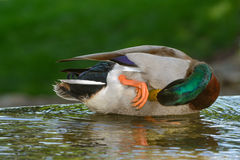Green head mallard scratching itch Royalty Free Stock Image