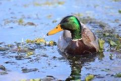 Green head mallard Royalty Free Stock Image