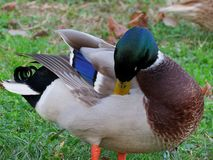Green-headed duck. Nice friends in domestic life. Duck, birds, nature, domestic birds, wildlife Stock Images