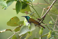 Green-headed sunbird. The green-headed sunbird & x28;Cyanomitra verticalis& x29; sitting on the branch in green bush stock image