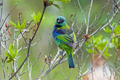 Green-headed tanager, the most famous tanager of the Brazil Stock Image