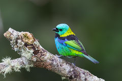 Green headed Tanager perched on branch. A male Green headed Tanager Tangara seledon perched on a branch against a blurred background, Atlantic rainforest, Brazil Stock Photography