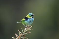 Green-headed tanager, Tangara seledon Stock Photography