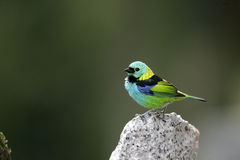 Green-headed tanager, Tangara seledon Stock Photography