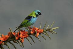 Green-headed tanager, Tangara seledon Royalty Free Stock Photo