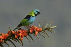 Green-headed tanager, Tangara seledon Royalty Free Stock Photo