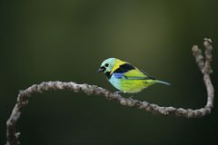 Green-headed tanager, Tangara seledon Royalty Free Stock Images