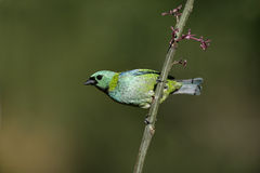 Green-headed tanager, Tangara seledon Royalty Free Stock Image