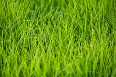 Free Green Healthy Grass Texture Stock Images - 182389884