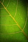 Green Healthy Leaf Royalty Free Stock Photo