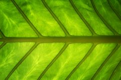 Green Healthy Leaf Royalty Free Stock Photography