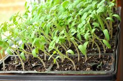 Tomato seedlings growing towards the sunlight on windowsill. Green and healthy tomato seedlings growing in tiny plastic containers ready to transplant to royalty free stock image