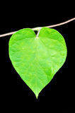 Green heart. A Morning Glory green leaf with the shape of a heart against black background Stock Photos