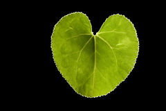 Green heart leaf Stock Image