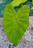 Green heart leaf Stock Photos