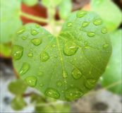 Green heart leaf with drops royalty free stock photo