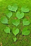 Green Heart Leaf on moss background Stock Photos