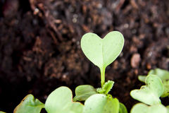 Green heart plant sprouting in garden. Green heart shape plant sprouting in garden soil Royalty Free Stock Photo