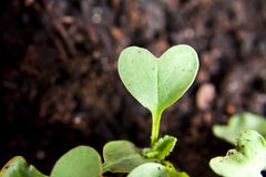Green heart plant sprouting in garden Royalty Free Stock Photos