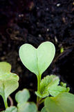 Green heart plant sprouting in garden Stock Image