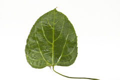 Sacha-Inchi leaf Stock Photos